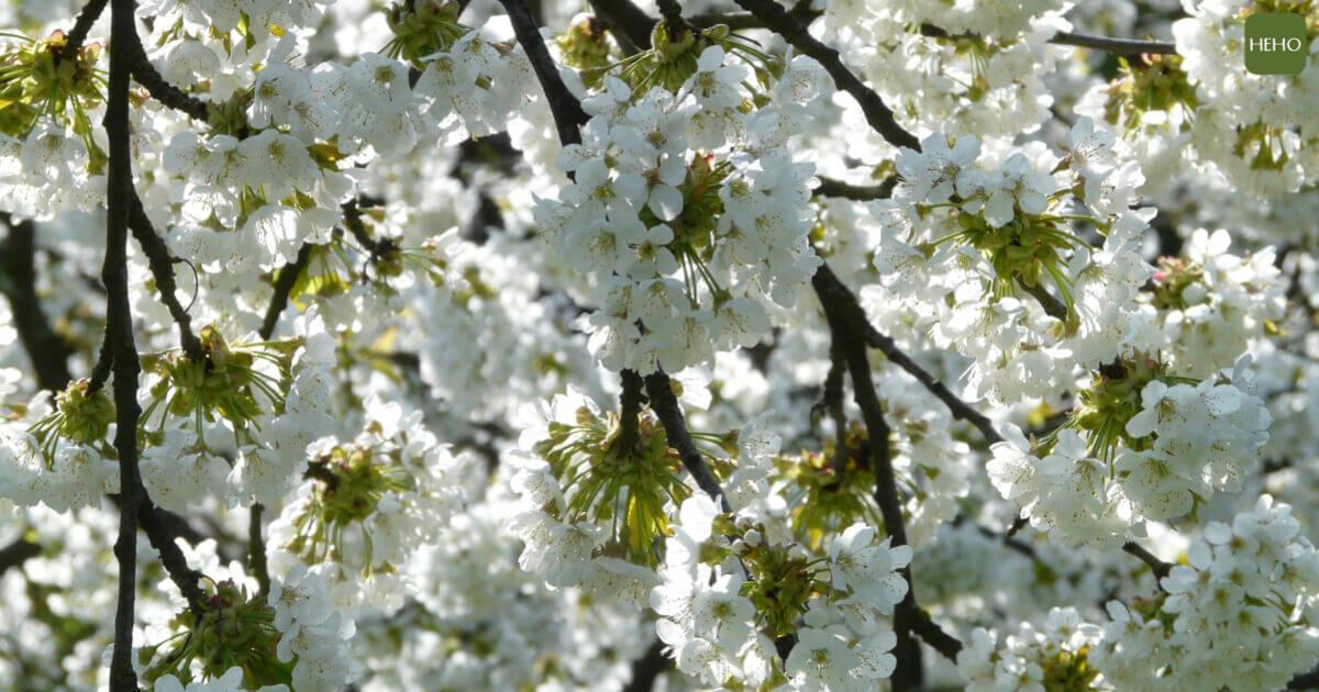 「五月雪」花季登場!全台油桐花浪漫盛開中