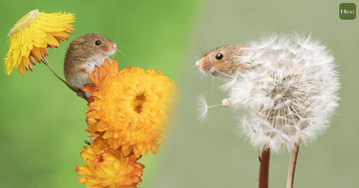 迷你巢鼠佔據蒲公英躲貓貓!動物攝影師捕捉「療癒瞬間」