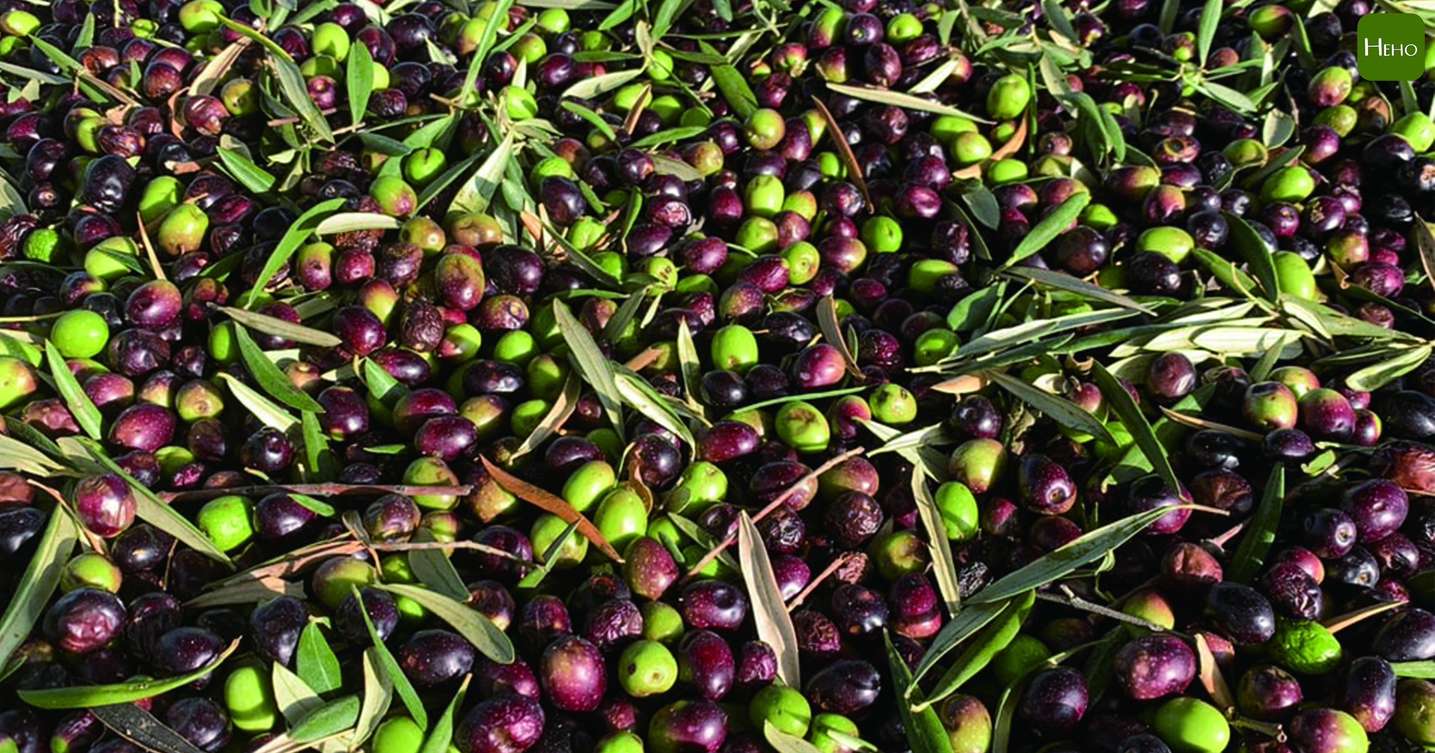 橄欖油怎麼判別優劣?「橄欖本身優劣、製造方法、油品監管」