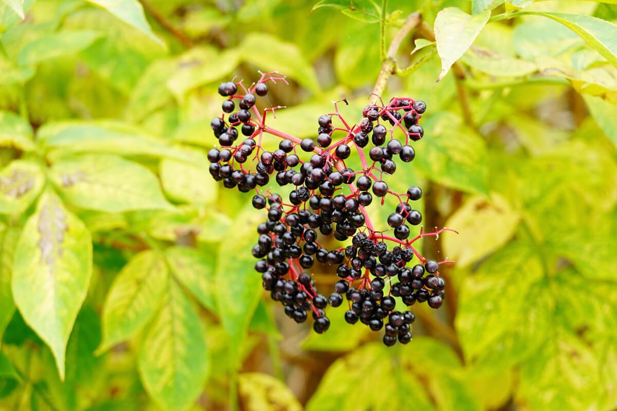 打造防禦好體質!「超級果實」接骨木莓+蜂膠讓保護力更加倍